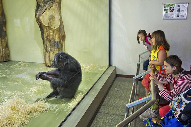 """Chimpanzee, Berlin"", 2013"
