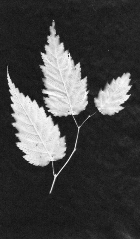 "Patricia Bender – ""Three Leaves"""