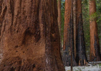 "Ralph Greene  – ""Mighty Redwoods"""