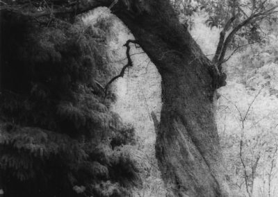 """Old Apple Tree"", oxidized gelatin silver print by Patricia A. Bender"