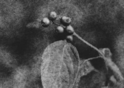 """Poisonberries"", oxidized gelatin silver print by Patricia A. Bender"