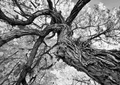 "Nancy Ori   – ""Old Cottonwood"""